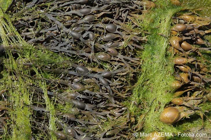 Des algues brunes toxiques envahissent les Antilles françaises