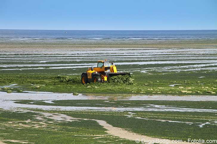 La justice a fini par admettre l'intoxication par les algues vertes en décomposition