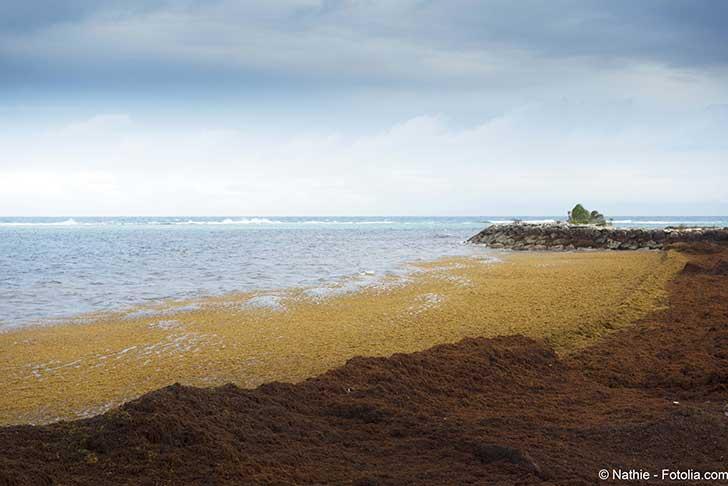Le gouvernement organise la lutte contre les algues brunes en Guadeloupe