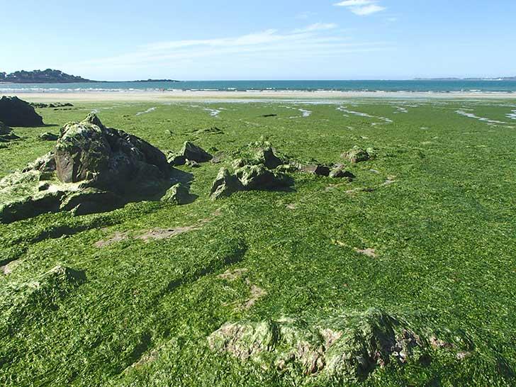 Les algues vertes en se d�composant d�gagent de l�hydrog�ne sulfureux