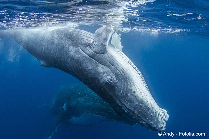 La chasse à la baleine en Europe du Nord devient une curiosité en voie d'extinction