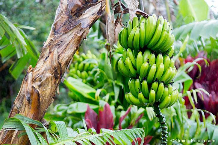 On semble d�couvrir un probl�me sanitaire aux Antilles li� aux bananes