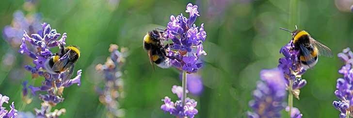 Les insectes pollinisateurs ne sont pas prot�g�s dans l�Union europ�enne