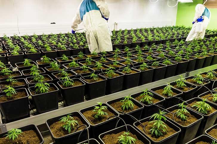 L'exécutif n'est pas favorable à la légalisation du cannabis récréatif