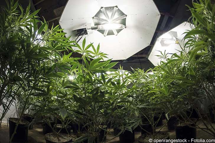 La lib�ration du cannabis aux Etats-Unis y a cr�� une industrie florissante