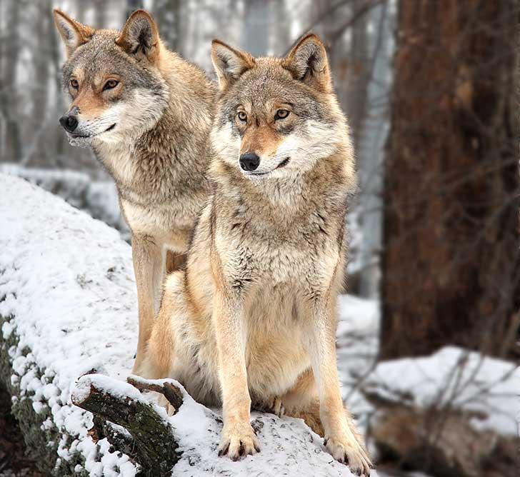 Hurler avec les loups prend un sens nouveau totalement in�dit