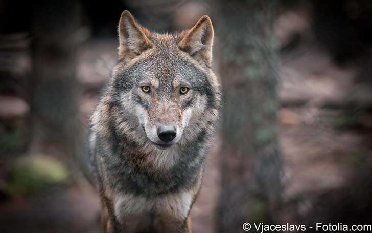 Les loups en liberté doivent se tenir sur leur garde