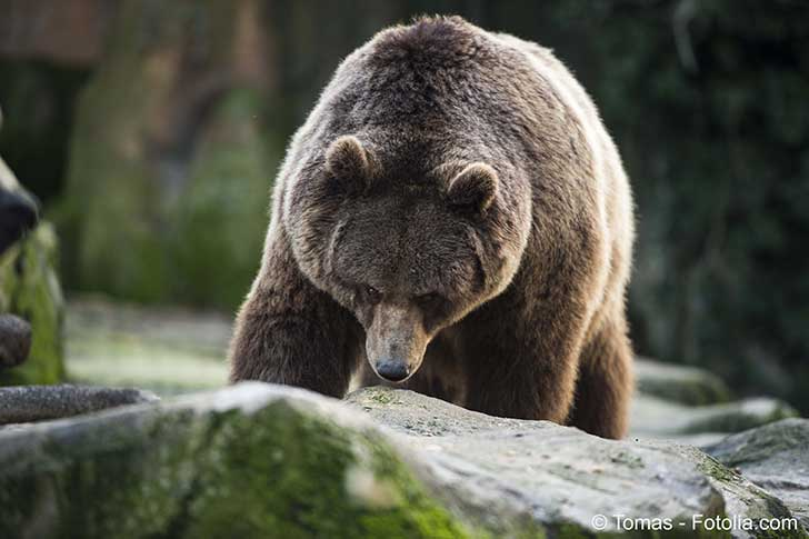 Dans les Pyr�n�es les hostilit�s entre pro et anti ours ne faiblissent pas