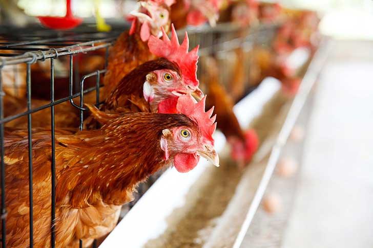 Un OGM interdit se trouve dans les aliments pour animaux de ferme