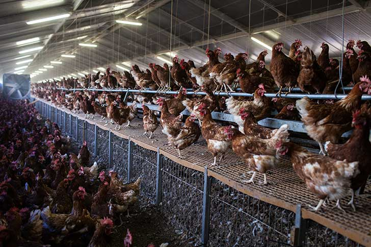 L'élevage intensif est une fois de plus dénoncé à l'initiative de l'association L214