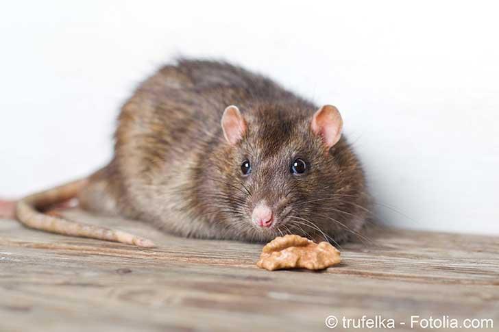 Anne Hidalgo compte sur les rats pour nettoyer Paris