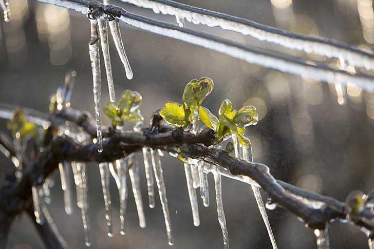 Le gel tardif a durement touché les exploitations agricoles