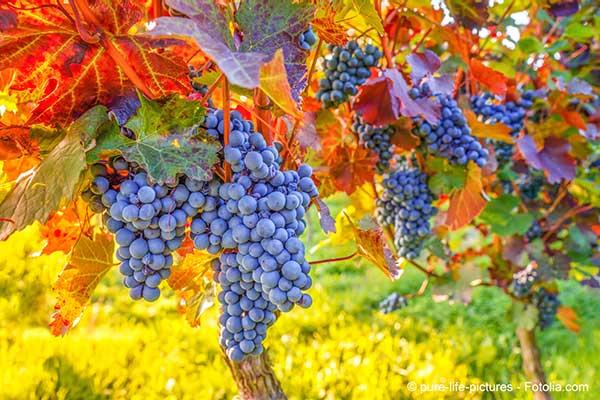 Vigne et réchauffement climatique