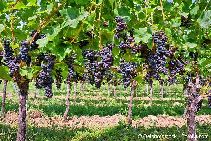 Les vignerons du Bordelais ont encore du mal � se passer des pesticides